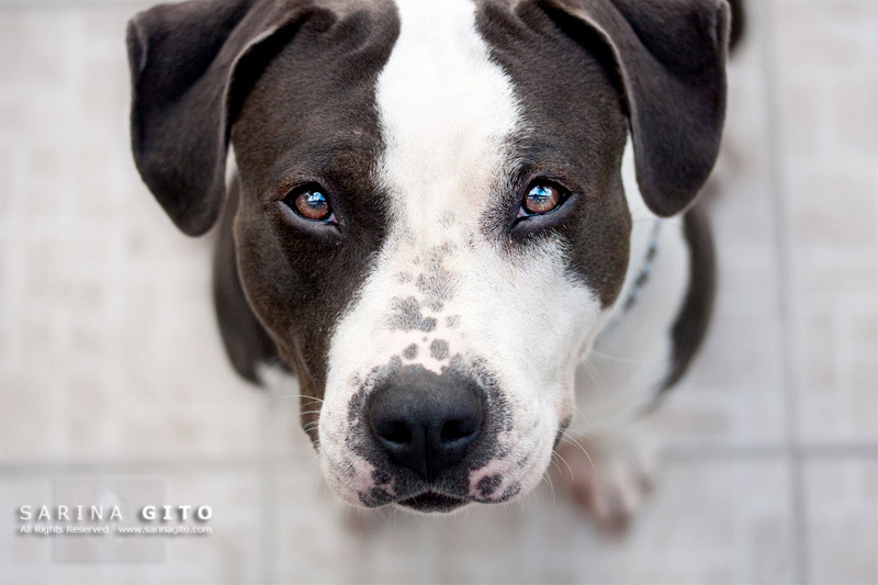 The Sweetest Pit Bull IKnow.